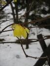 冬ロウバイ:白い雪に上品に咲く花.jpg
