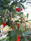 ヒメイチゴ:色がすくないこの時期に花を咲かせます。.jpg