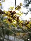 マンサクの花、春の訪れ.jpg