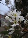 ジュンベリーの花.jpg