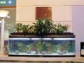 1800型水槽には、錦鯉10匹、ヒレ長鯉が5匹泳いでいます。訪れた方が立ち止まり見とれています!