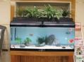1200型水槽には、金魚が15匹泳いでいます。頭の赤い帽子を被った様な丹長は人気です!
