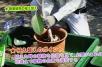 ゴムの木の植え替え!